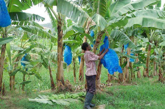 St. Lucia - banana plantation