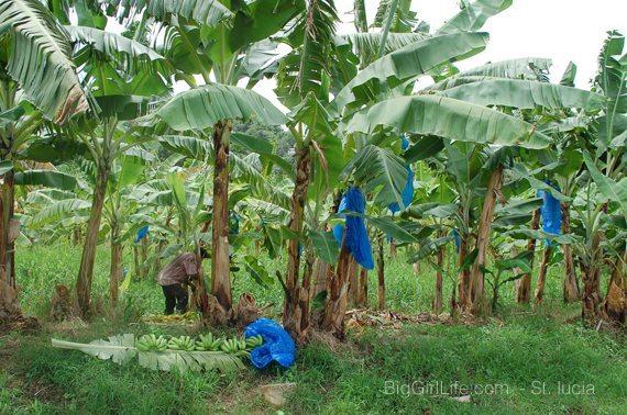 St. Lucia - banana plantation -2