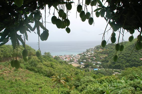 roadside vista with mangoes - St. Lucia