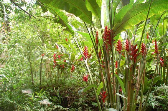St. Lucia - heliconias & gingers - diamond botanical gardens St. Lucia