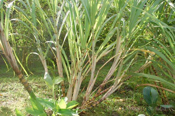 sugarcane - St. lucia